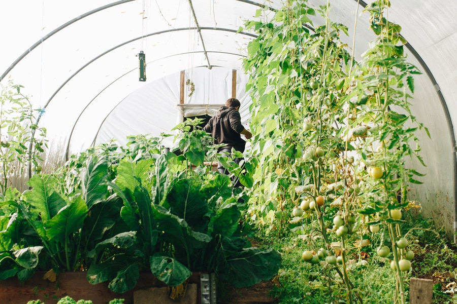 growing food in a polytunnel